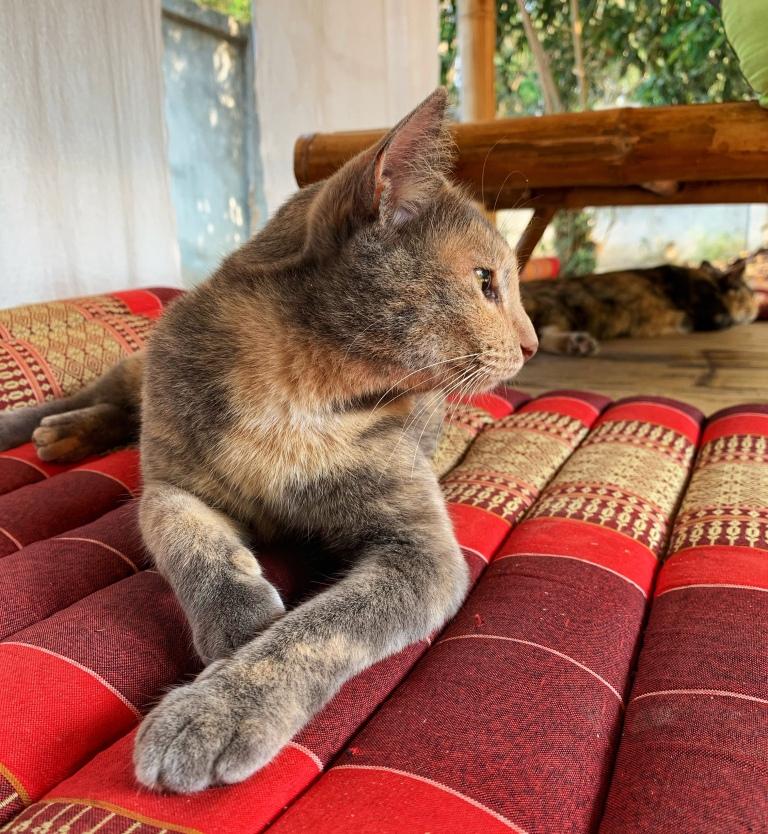 Cat at Suan Sati yoga retreat in Chiang Mai Thailand